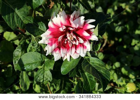 Single Dahlia Bushy Tuberous Herbaceous Perennial Plant With Large Composite Flower Head With Open B