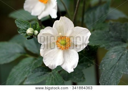 Single Japanese Anemone Or Anemone Hupehensis Or Thimbleweed Or Windflower Or Chinese Anemone Or Ane