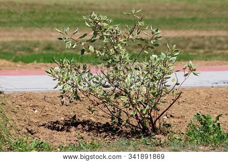 White Dogwood Or Cornus Alba Or Siberian Dogwood Or Red Barked Dogwood Suckering Shrub Ornamental Fl
