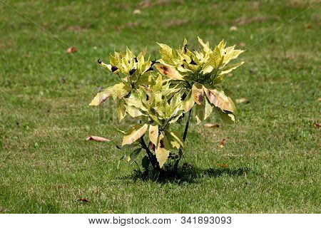 Small Shrub Of Japanese Laurel Or Aucuba Japonica Or Spotted Laurel Or Gold Dust Plant Or Japanese A