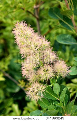 Smoke Tree Or Cotinus Coggygria Or European Smoketree Or Eurasian Smoketree Or Smoke Bush Or Venetia