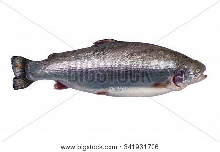 Rainbow Trout Fish Isolated On White Background. Fresh Wild Trout Isolated On A White With Clipping