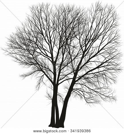 Vector Drawing Of Three Poplar Trees Close Together