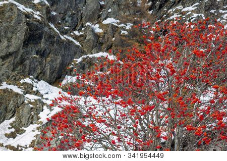 The Wild Rowan Red Berry Tree (sorbus Aucuparia) Against Mountain Background With New Snow In The Be