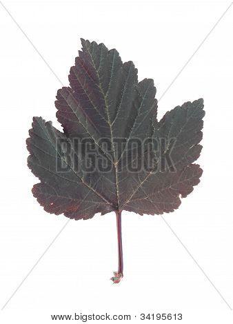 A Leaf Of An Physocarpus Opulifolius Diablo