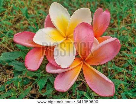 Frangipani Flower -frangipani Flower Blooms With A Blur Background, Pink And White Frangipani Flower