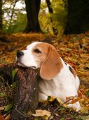 Beagle lying on tree root in the park in autumn poster