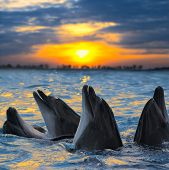 The bottle-nosed dolphins in sunset light poster