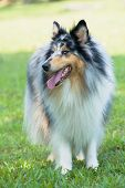 Portrait of purebred Shetland Sheepdog on green grass poster