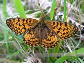 Small pearl bordered fritillary butterfly at rest poster