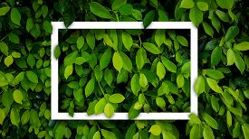 Banyan Green Leaves Nature Background With Frame  White.tree Plant Bush Decorate In The Garden.leaf