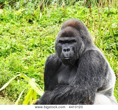 A close up image of a male silverback gorilla in a sitting pose poster