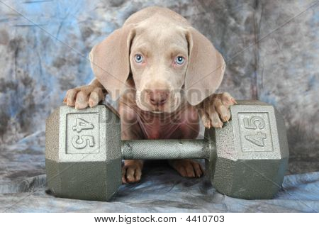 This is a gray weimaraner puppy lifting weights poster