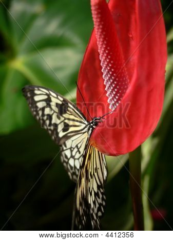 Butterfly Sitting On A Red Anthurium Flower