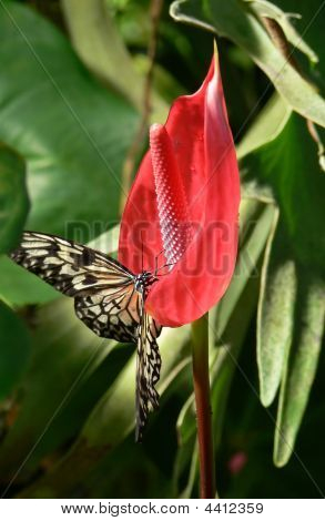 Butterfly Sitting On Anthurium Flower