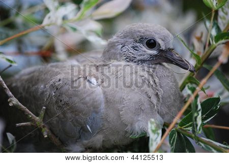 Collared Dove Fledgling