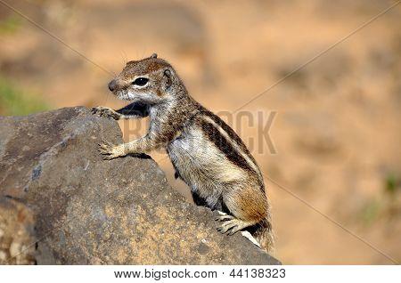 Niedlichen Eichhörnchen auf einem Felsen