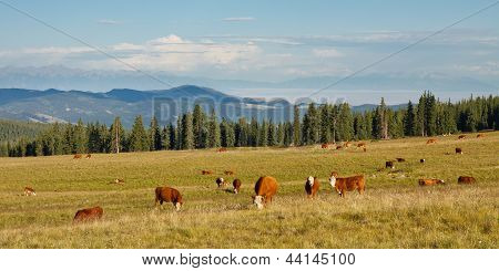 Cattle Grazing On Pasture