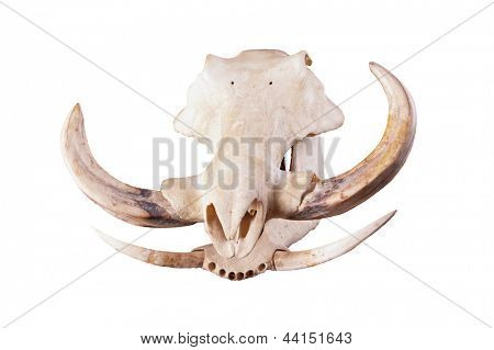skull of an African Wart hog isolated on a white background