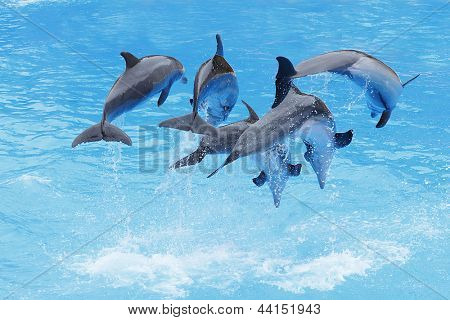 A Group of Bottlenose Dolphins (Tursiops truncatus) leaping