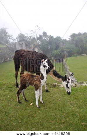 Machu Picchu Llamas