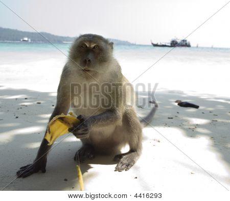 small monkeys eats a banana on tropical beach poster
