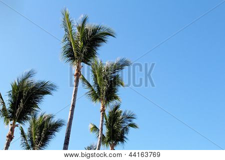 Coconut trees isolated against blue sky