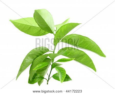 Branch Of Citrus-tree With Green Leaf