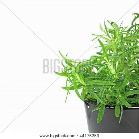 Newly Planted Rosemary