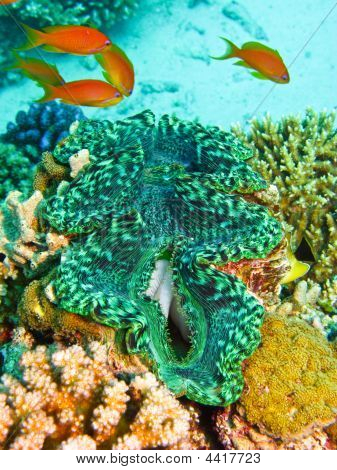 Green Giant Clam