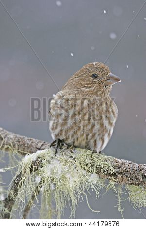 Cassin's Finch Female (carpodacus Cassinii)