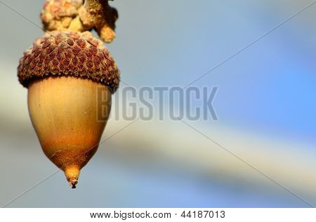Colorado Scrub Oak Acorn
