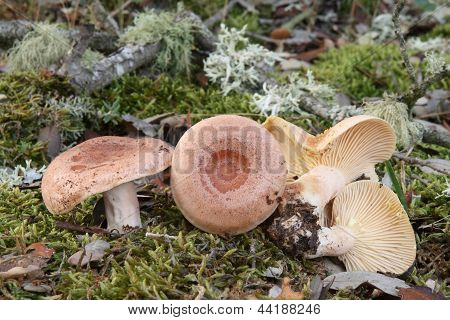 Mushrooms. Lactary golden milk, fake milk caps. Lactarius chrysorrheus.