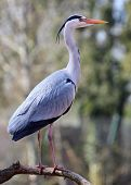 An adult Grey Heron (Ardea cinerea) perches on the branch of a tree. poster