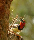 Backlit Black Collared Barbet Looking Up at Nest poster