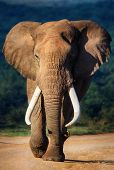 Elephant with large teeth approaching - Addo National Park poster
