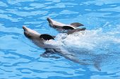 Three Bottlenose Dolphins Swimming in formation poster