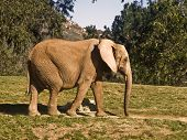 This is a picture of an elephant taking a stroll. poster