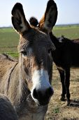 This donkey is curious and has no fear in approaching humans poster