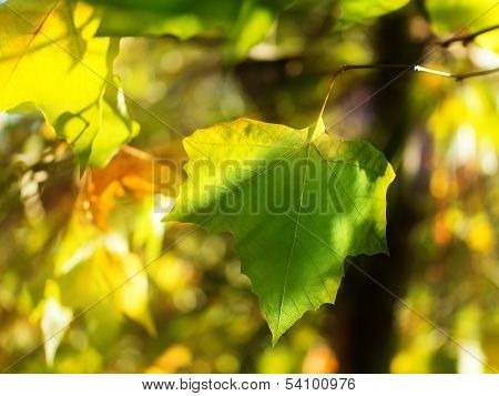 Leaves In The Autumn Sun