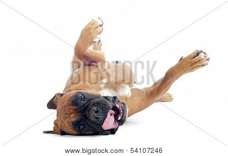 Rolling Boxer