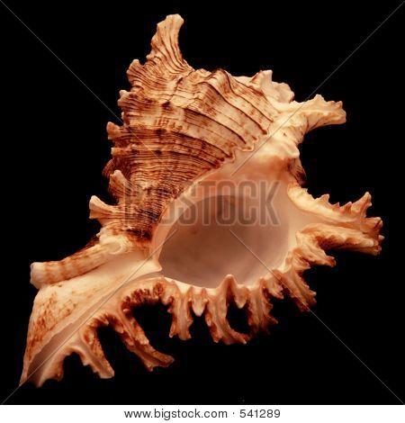 Seashell On Black