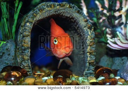 A chichlid fish hiding inside a tunnel in an aquarium. poster