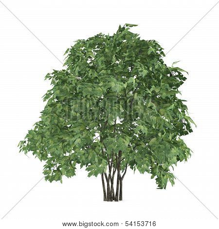 Tree bush isolated. Staphyella pinnata