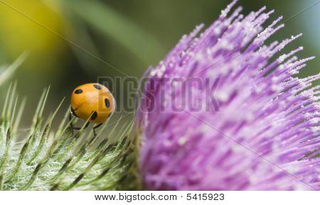 ladybird on a pink and green thistle poster