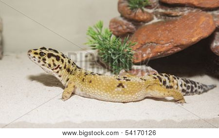 Leopard gecko in his cage on sand