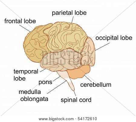 Brain Sections Vector Illustration