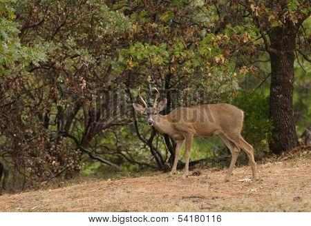 a wild indigenous male (buck) Black-tailed deer (odocoilus Hemionus) in California