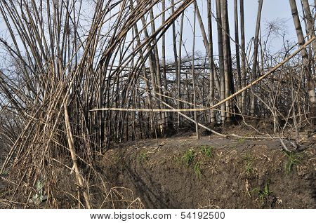 Bamboo Trees Damaged by Pyroclastic