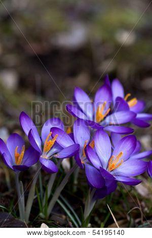 blue crocus flowers